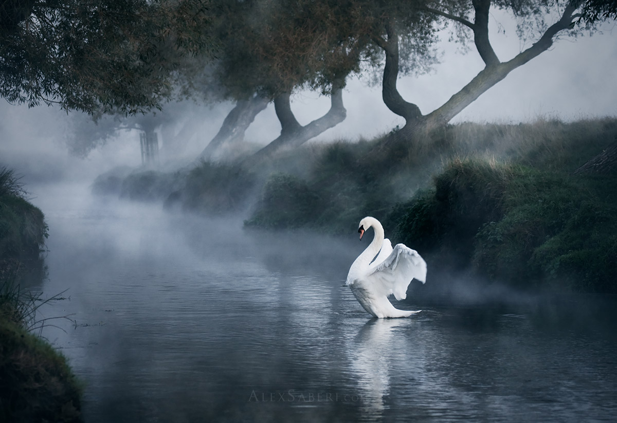 A print of a lone mute swan stretching out in the early morning mists of Richmond Park