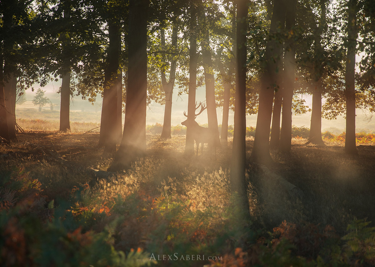 Autumn stag in Richmond Park photo print