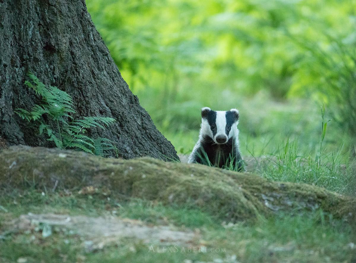 A badger in Richmond Park photo print