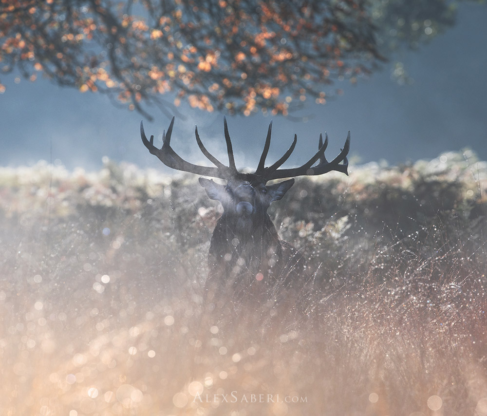 A large red deer stag in the Richmond Park rutting season print