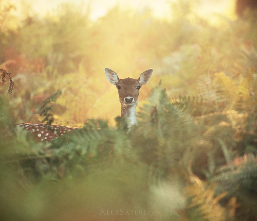 A feamle deer looks through the autumn bracken print