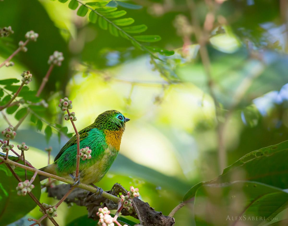 Brassy-breasted tanager in Ubatuba
