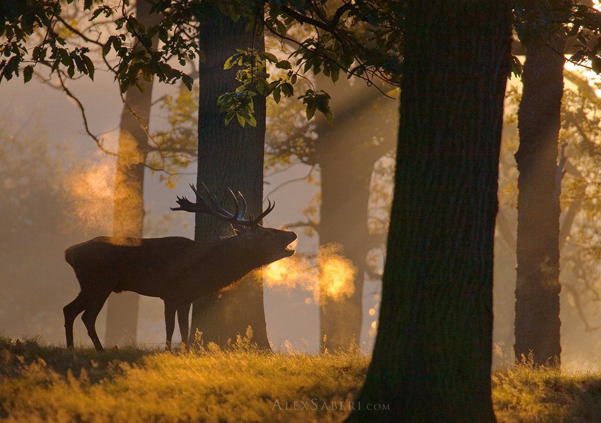 Stag bellows out in the mists of Richmond Park poster print