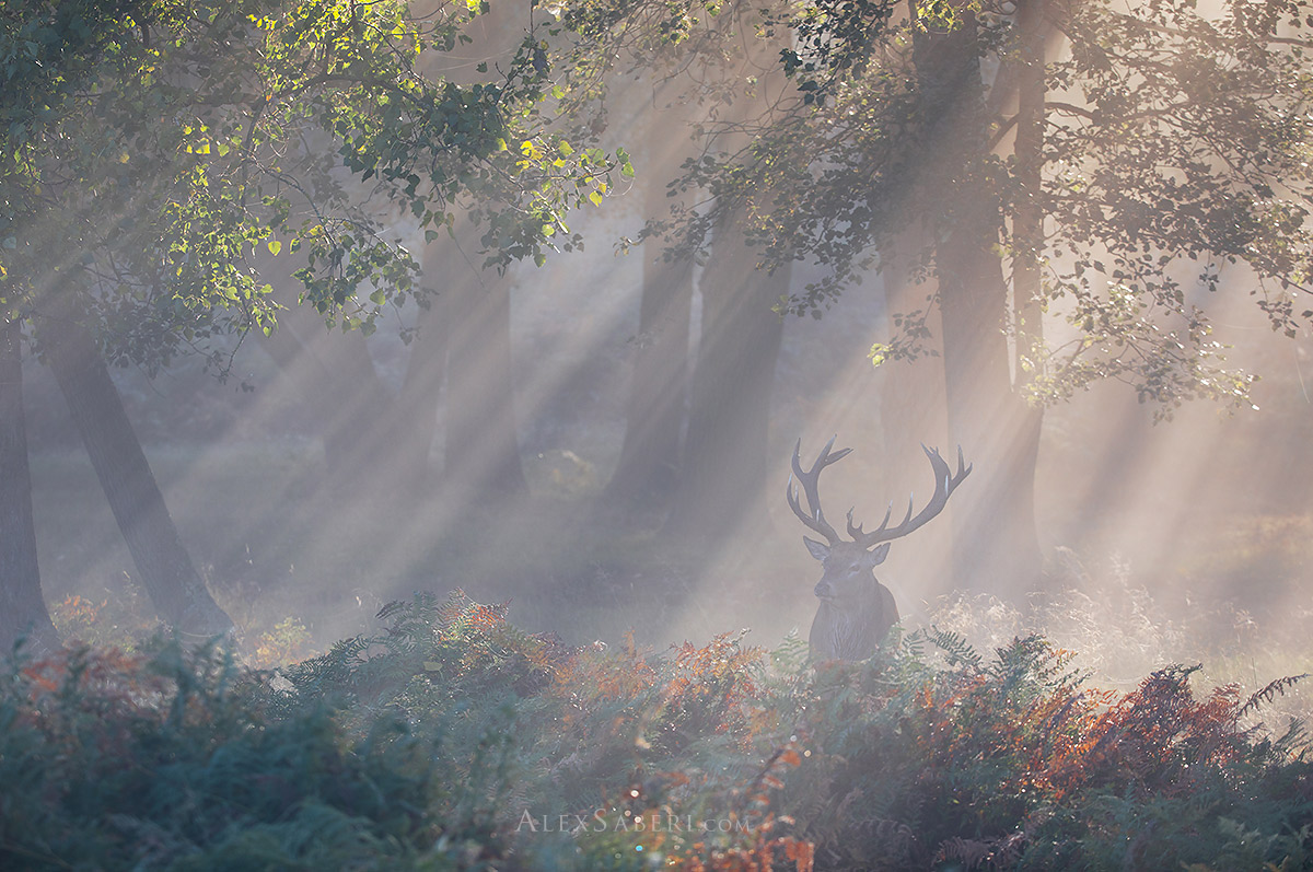 Enchanted Stag