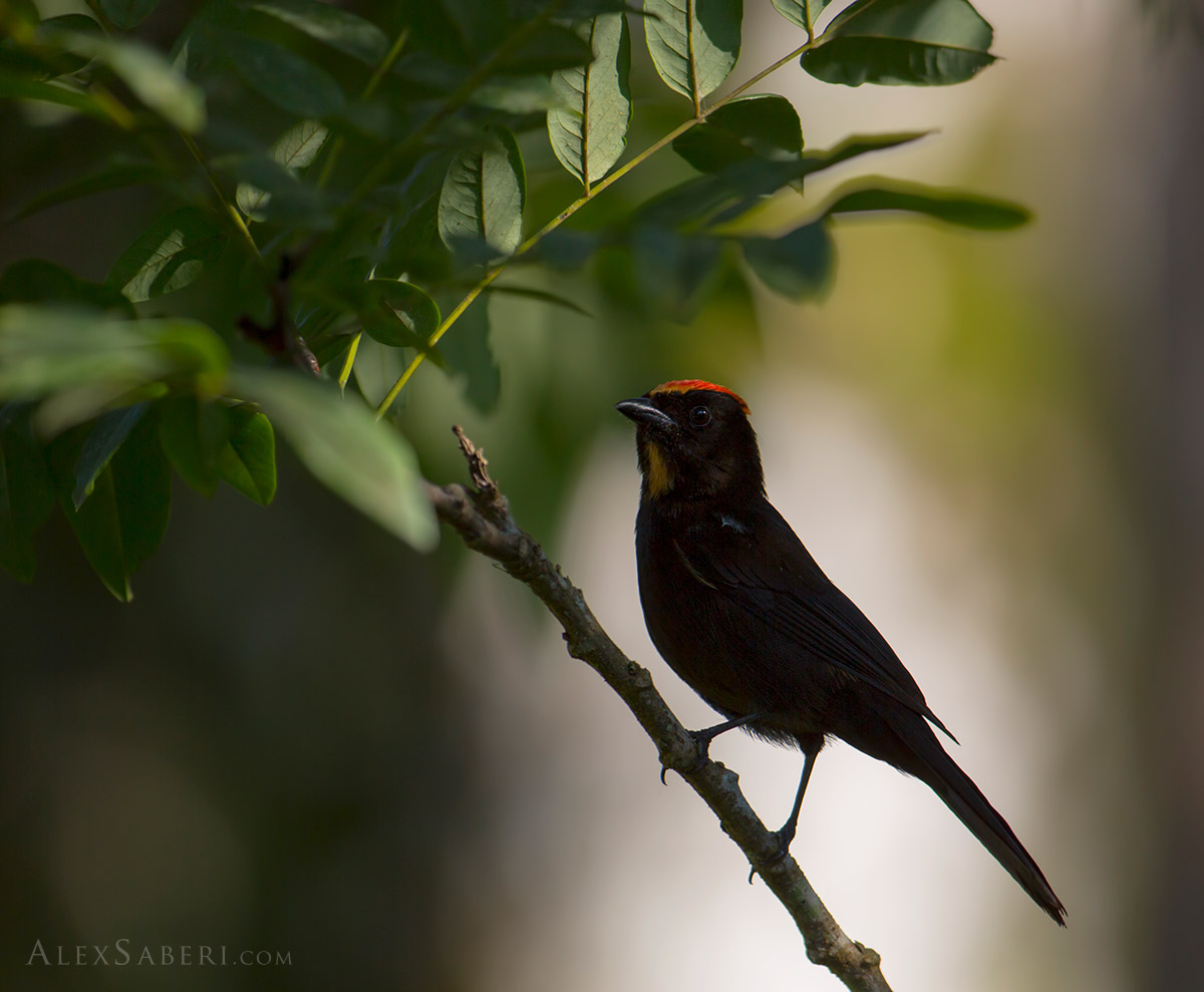 Flame-crested tanager in Ubatuba