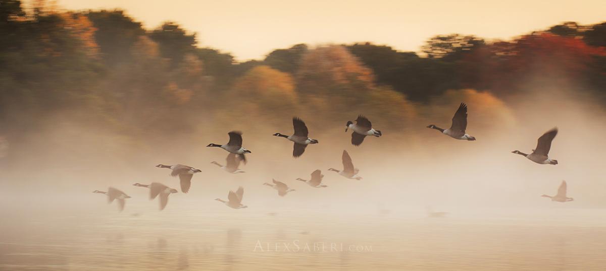 Geese in Flight in Richmond park