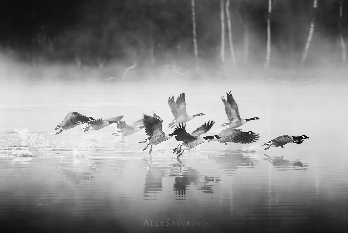 Canada geese black and white Richmond Park print