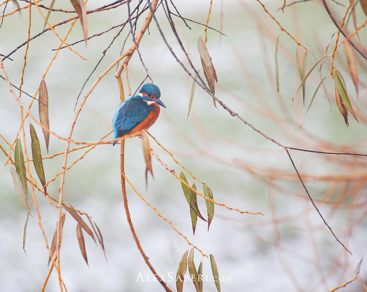 Kingfisher's Wait