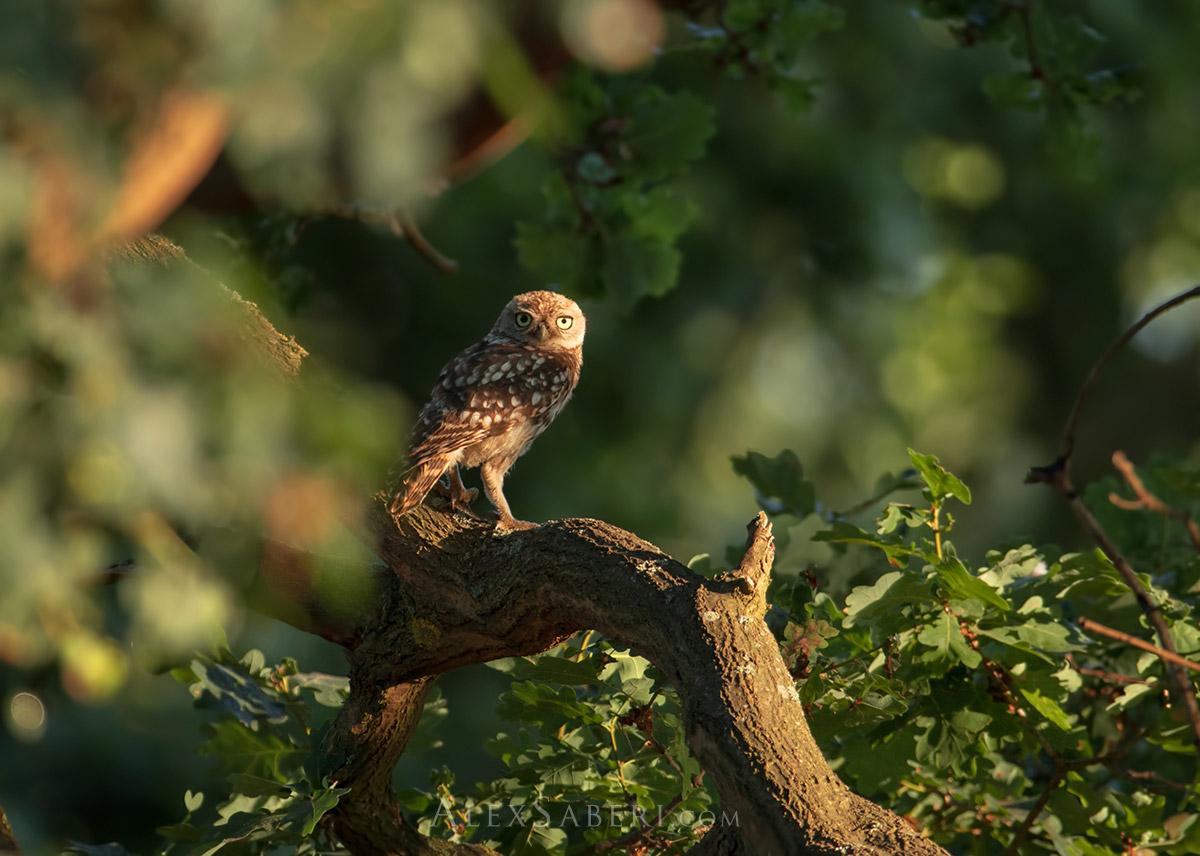 Print of a Richmond Park little owl.