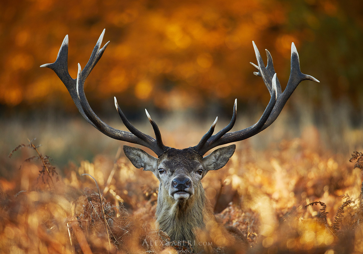 Portrait print of a large male red deer stag in Richmond Park
