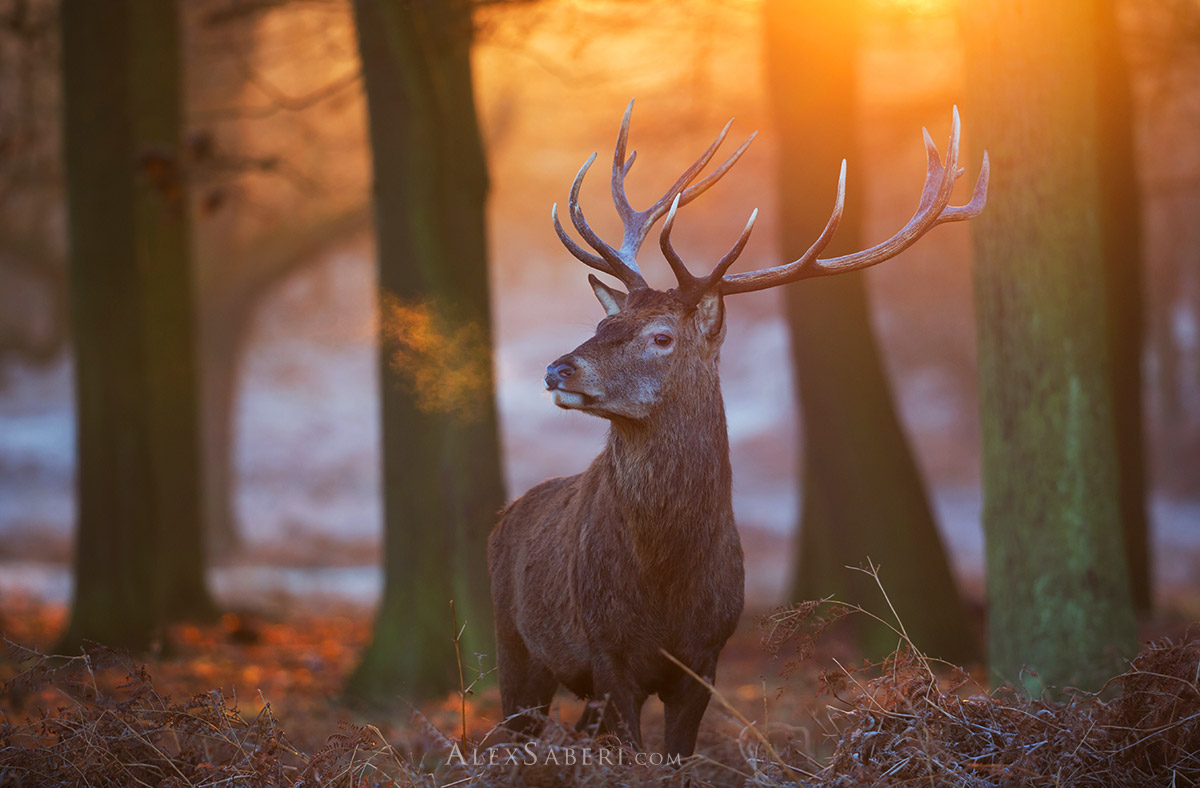 A majestic print poster of a large red deer stag of Richmond Park