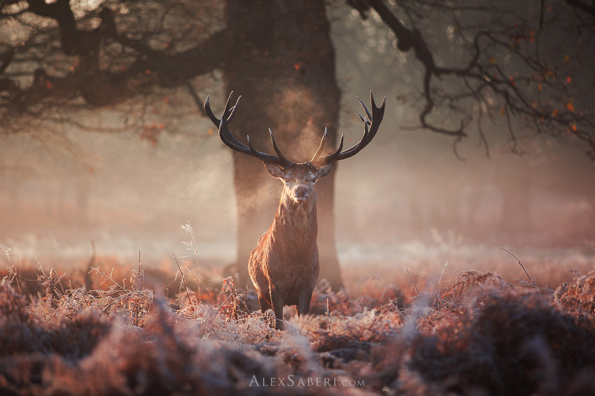 A stunning print of a Richmond Park stag
