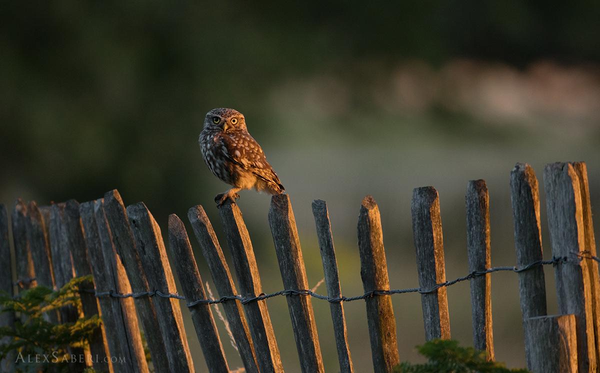 Owl on a fence in Richmond park