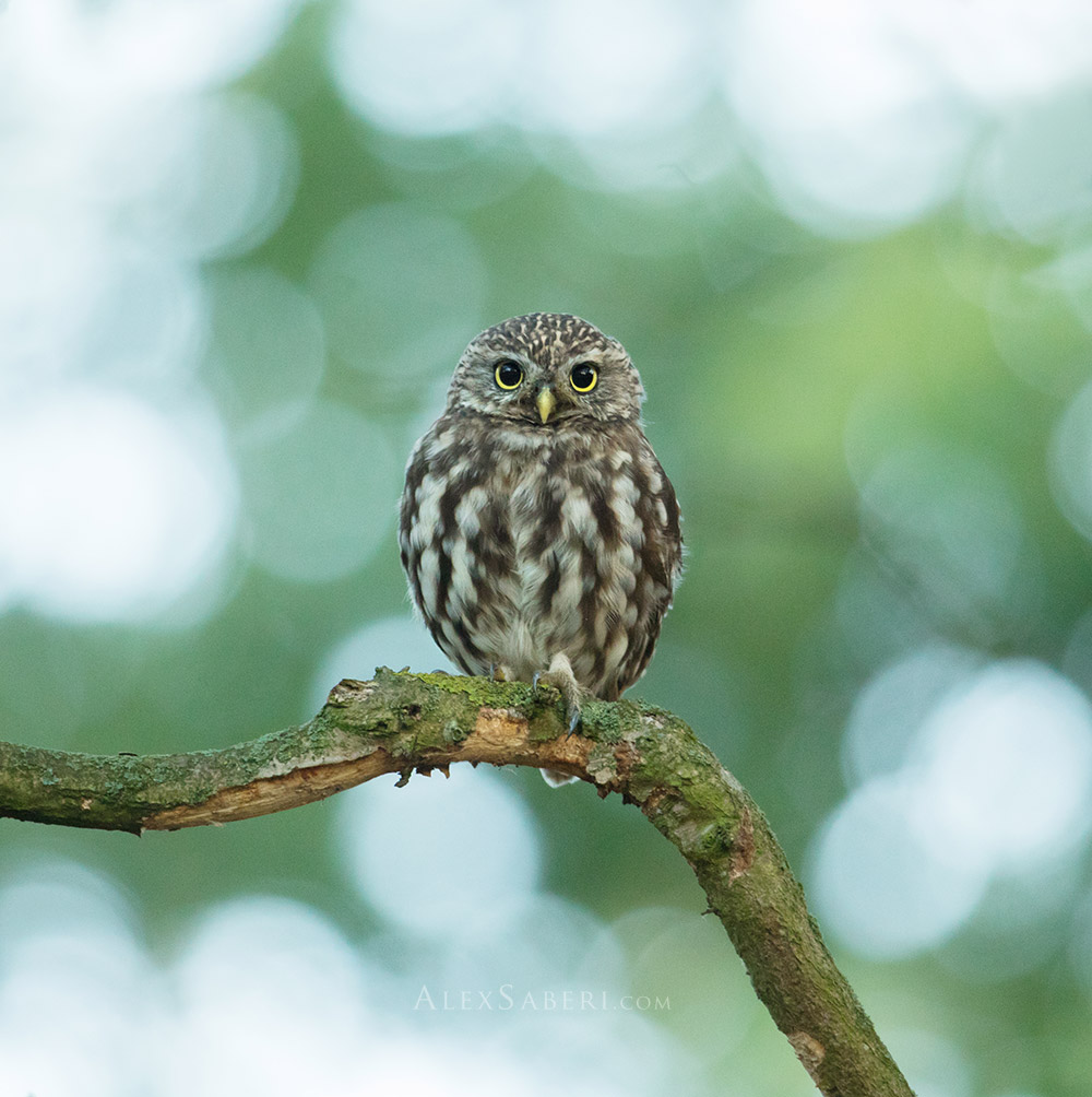 A little owl in Richmond Park poster print