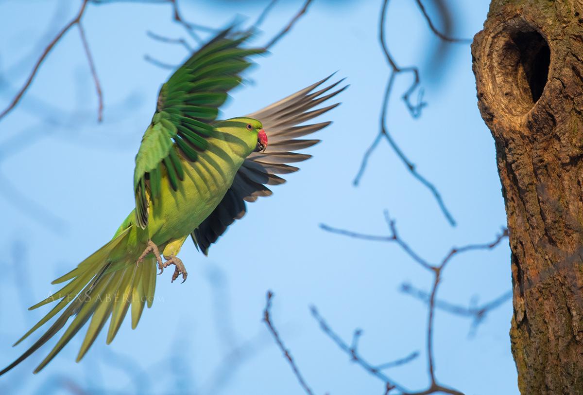 Parakeet in flight in Richmond park