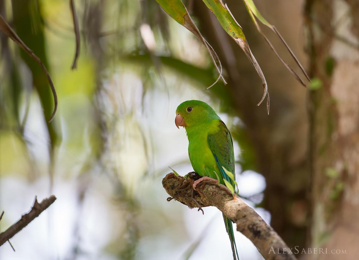 Parakeet in Ubatuba