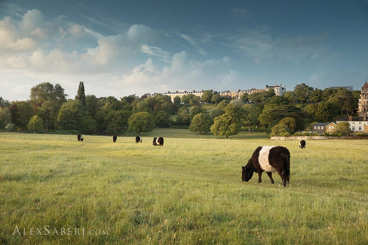 Petersham Cows