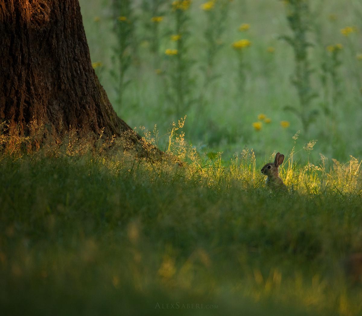 A summer rabbit pop ups in Richmond Park photo print.
