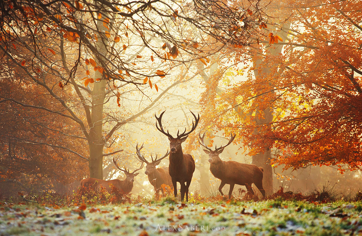 Realm of the deer stags autumn poster print from Richmond Park