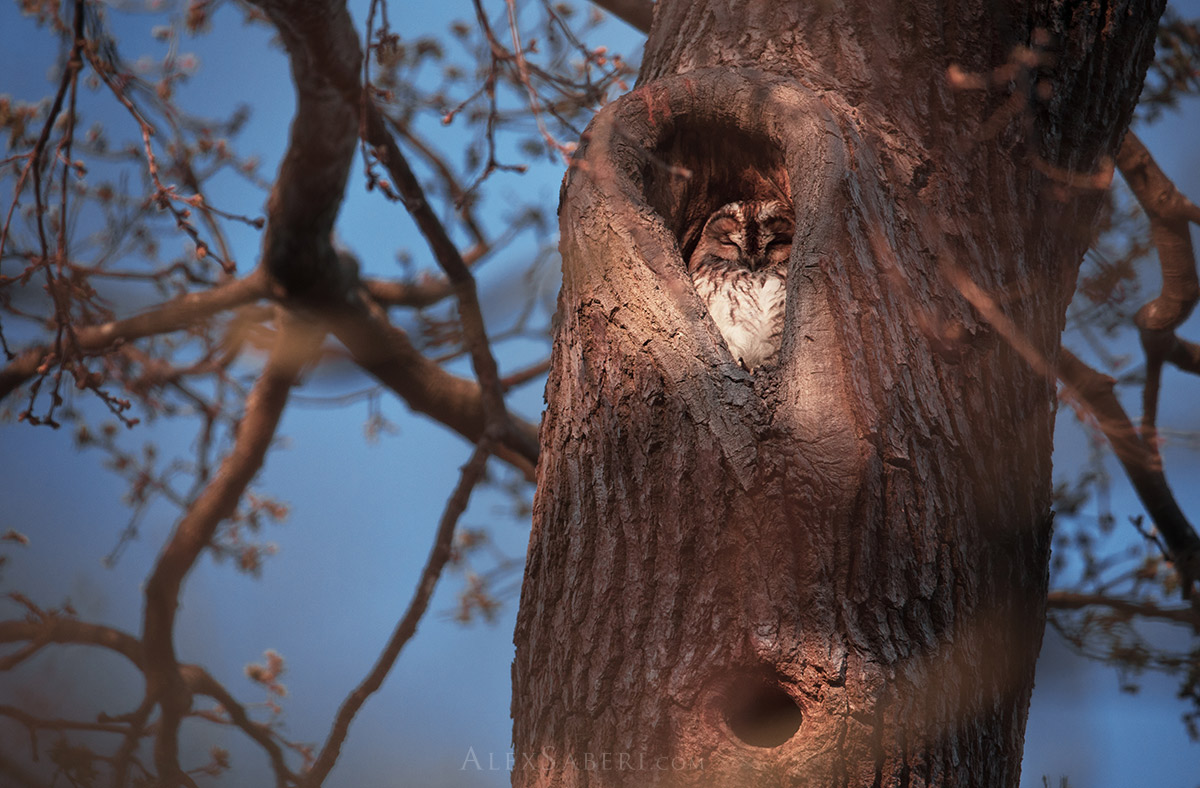 A tawny owl Richmond Park