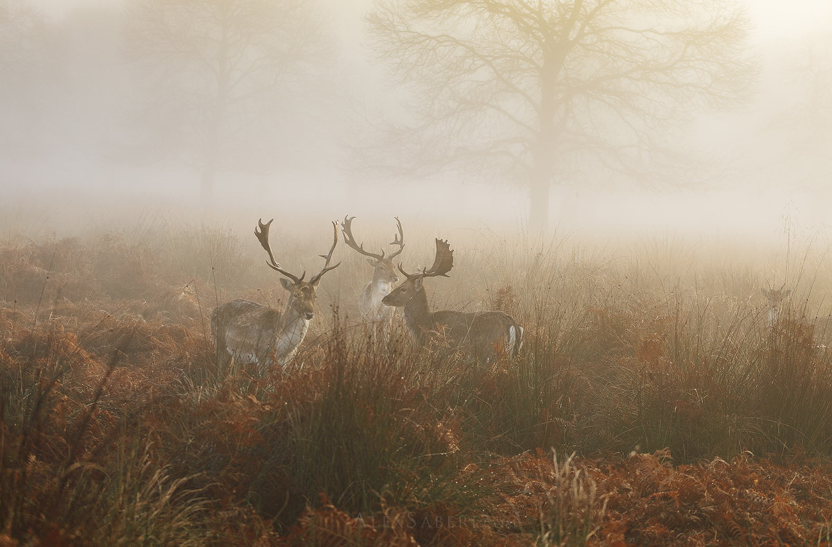 Fallow deer stags gather in the mist of Richmond Park print