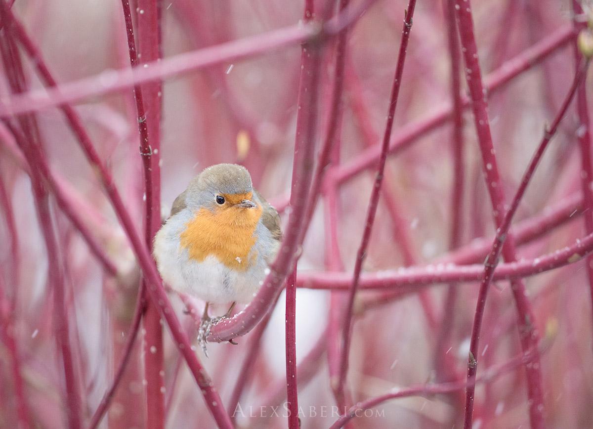 A print of a winter robin in Richmond Park.