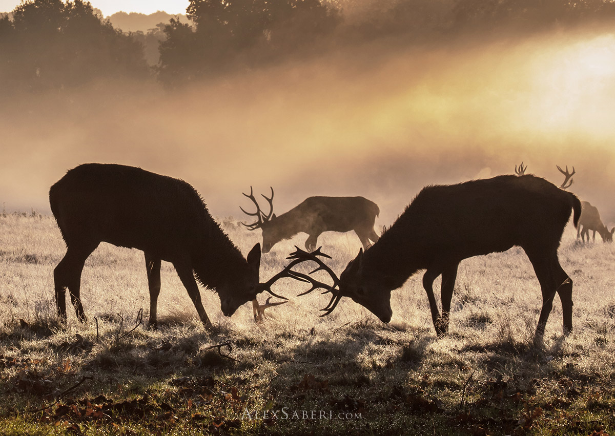Ruting stags photo print from Richmond Park.
