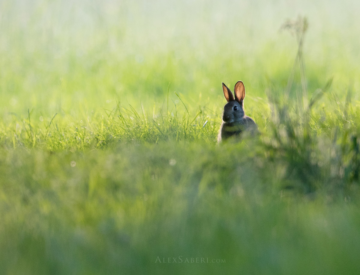 Pink ears of a spring rabbit pop up in Richmond Park photo print.