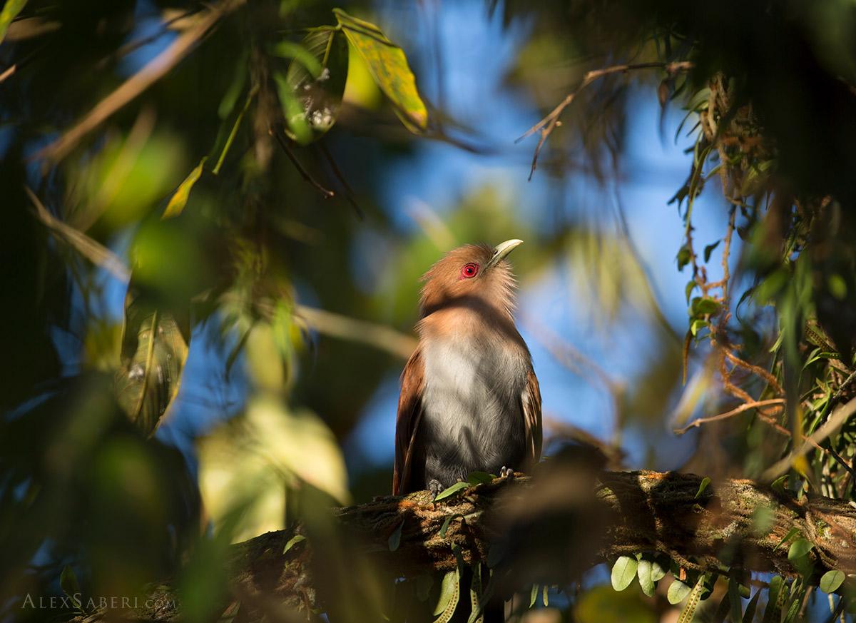 Squirrel cuckoo in Ubatuba