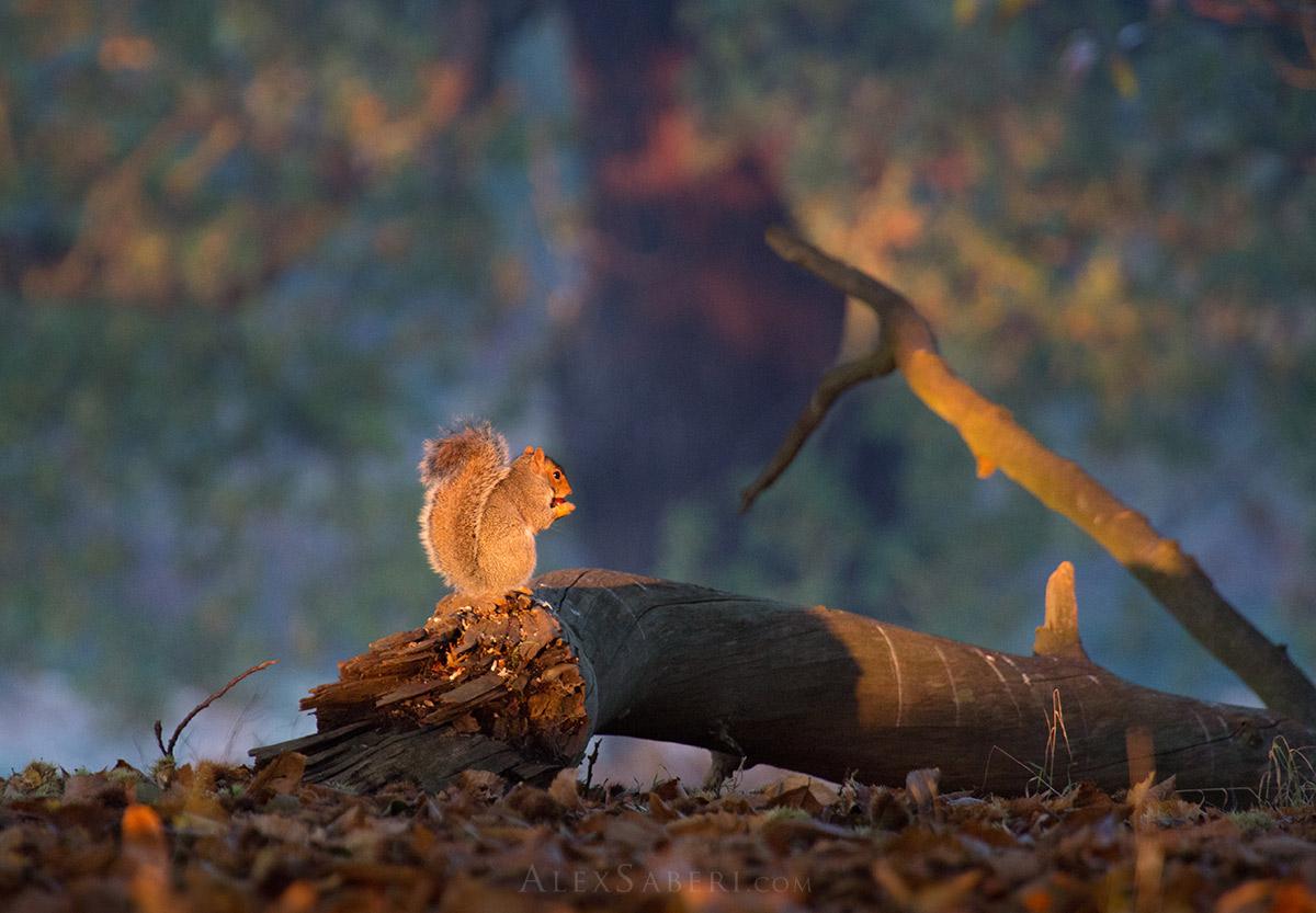 Squirrel Sunrise