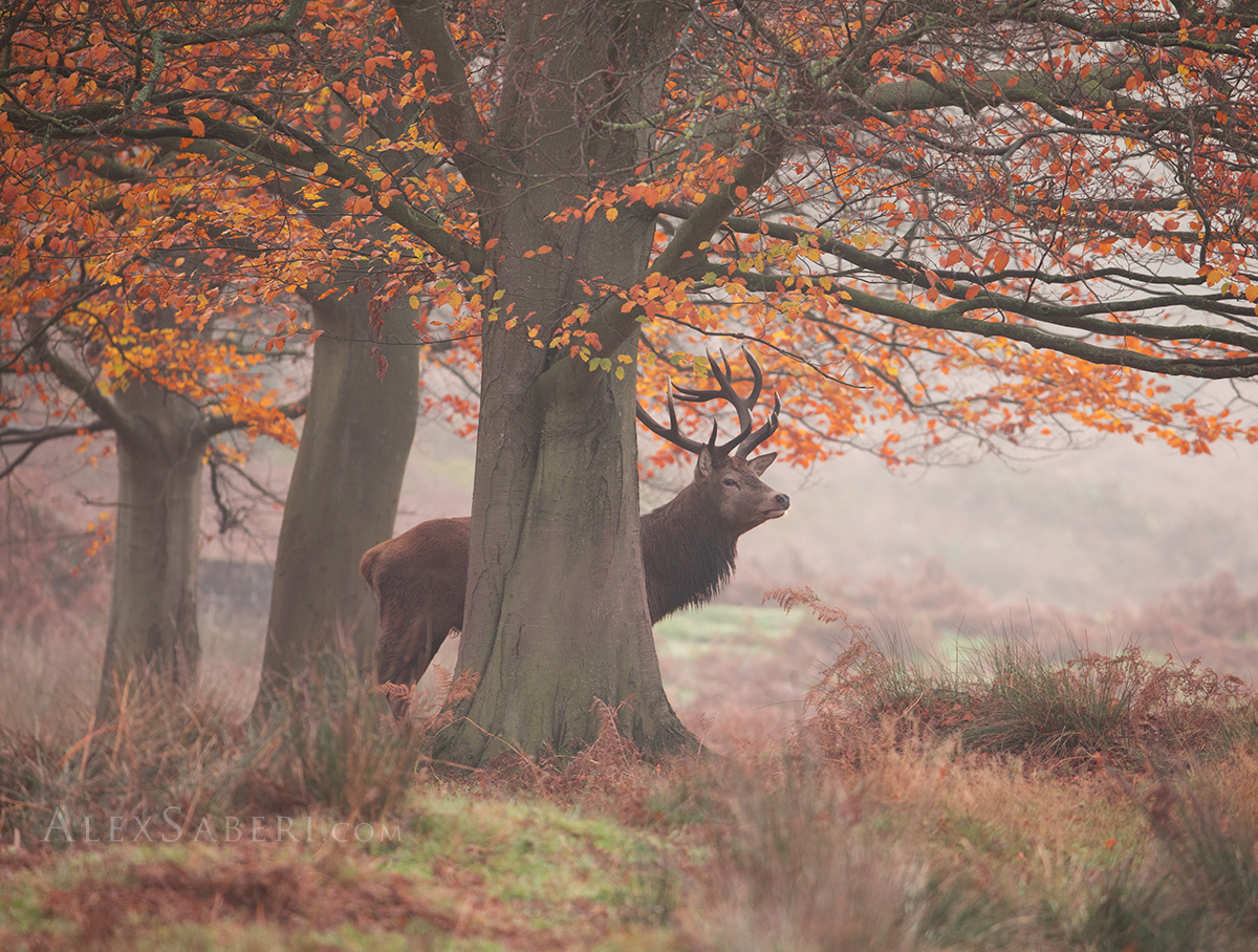 Print photo of a stag in Richmond Park