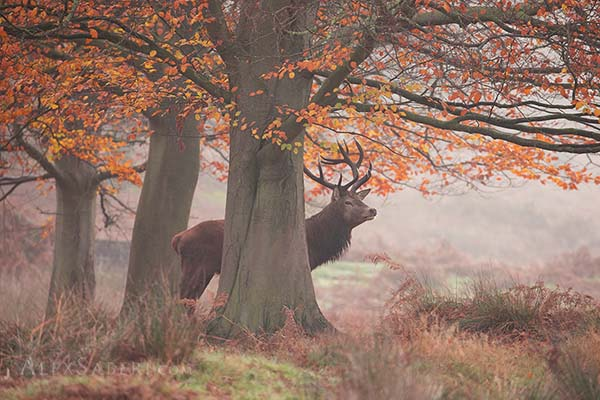 Print of Richmond Park Stag during Autumn.