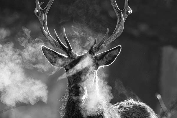 Black and White print of a Richmond park stag.