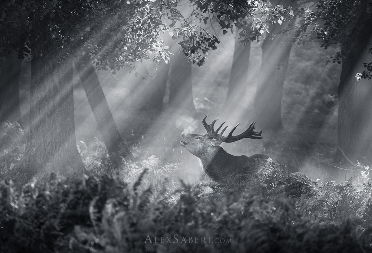 A stag bellows out in the mist