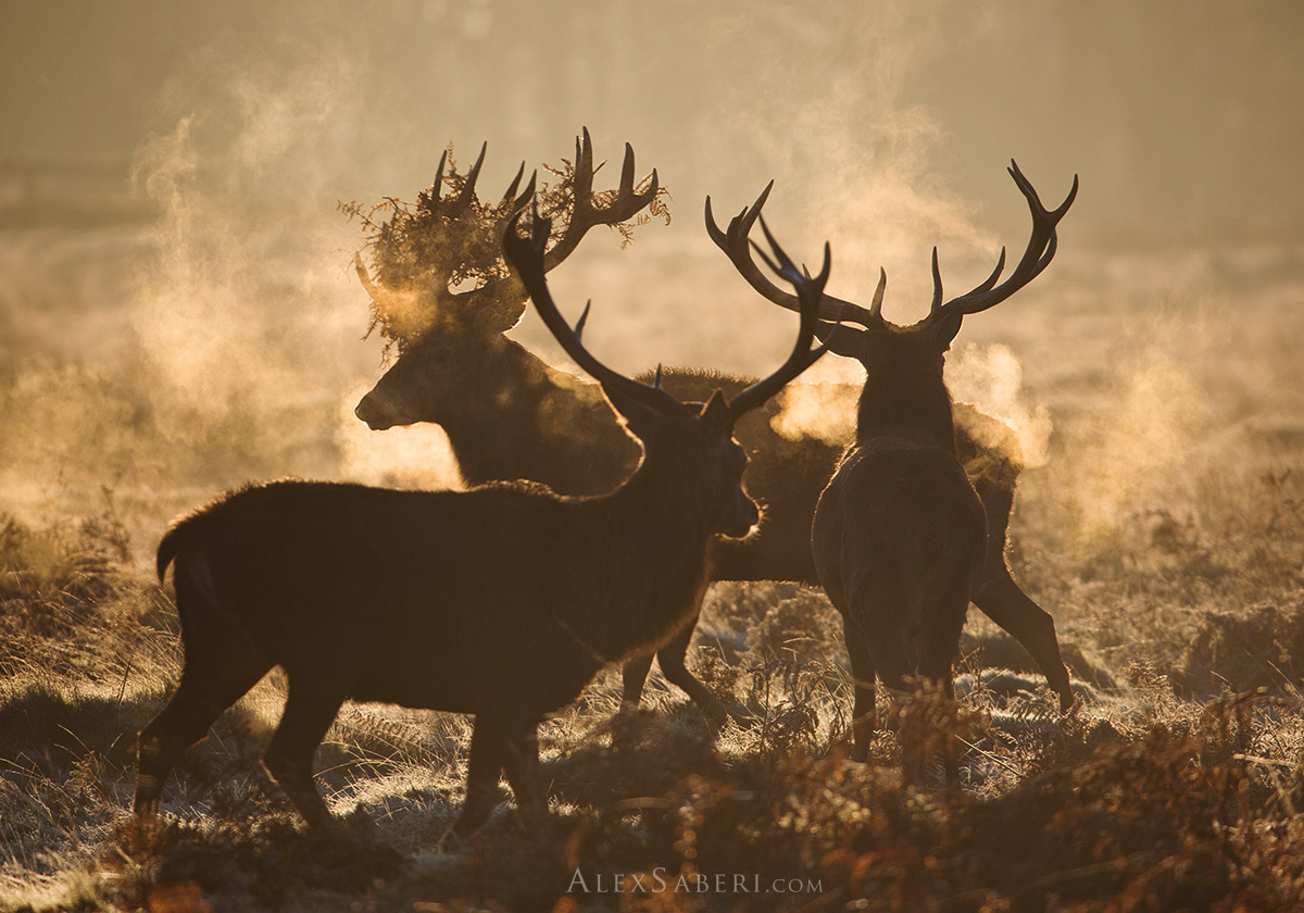 Stags perform a ritual in the mists of Richmond Park photo.