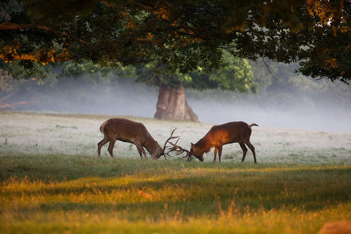 Rutting stags in Richmond Park photo print