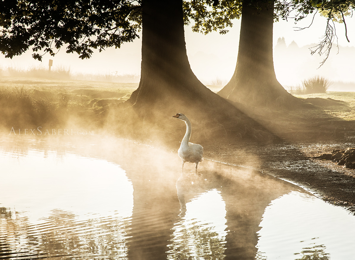 A print a swan bathing in the morning mists of Richmond Park