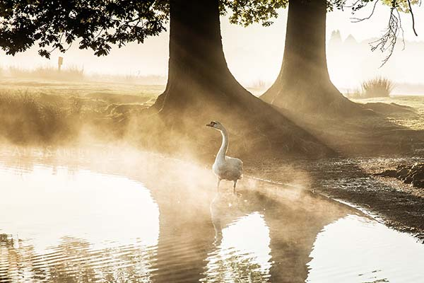 Print of a swan on pen ponds.