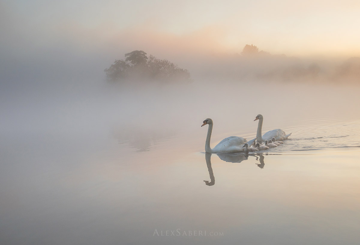 Two adult swans and their cygnets on penponds in Richmond Park photo print.