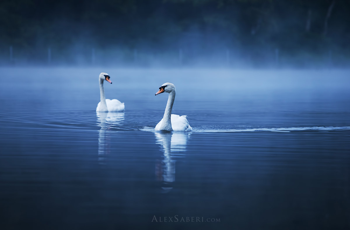 Two swans glide through Richmond Park misty ponds print poster.