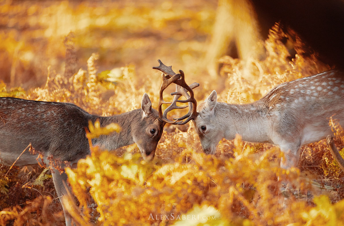 Two fallow deer stags rut in Richmond Park one autumn.