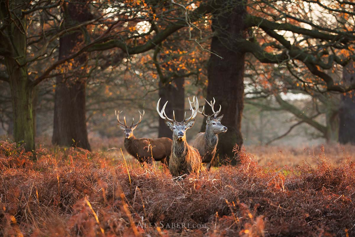 Print poster of three Richmond Park stags.