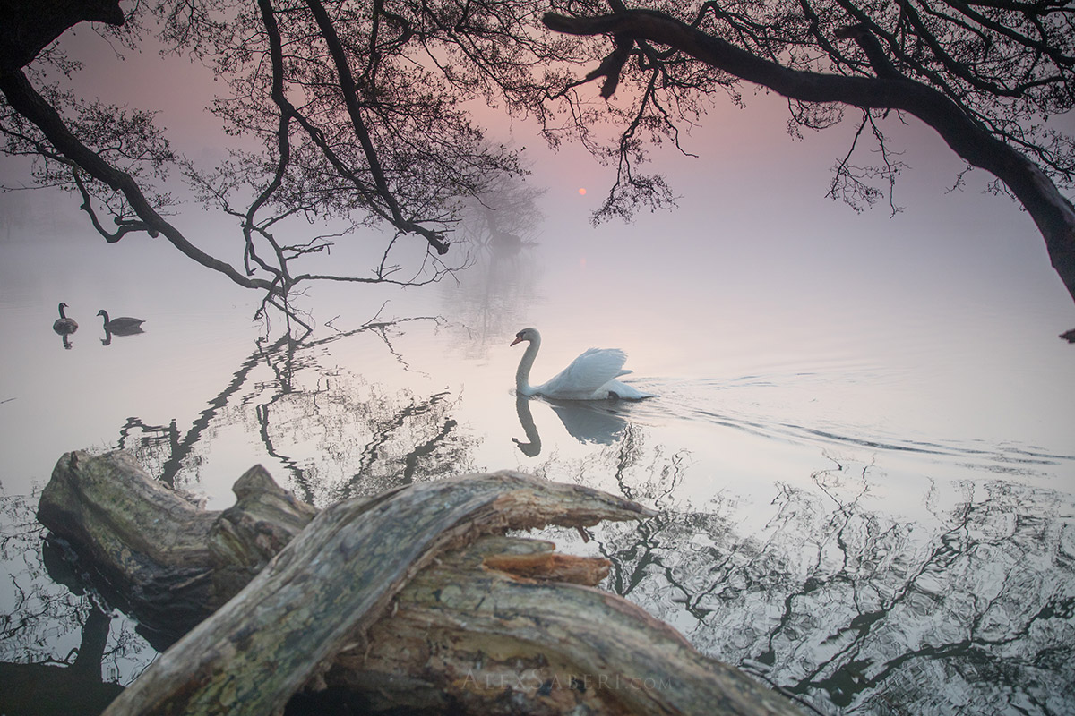 A swan glides through a misrty pond in Richmond Park photo print.