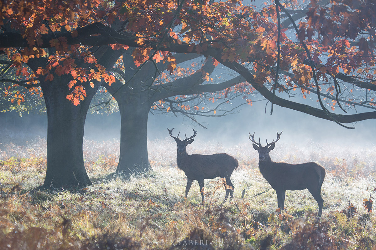 Print poster of stags under an oak tree of Richmond Park.