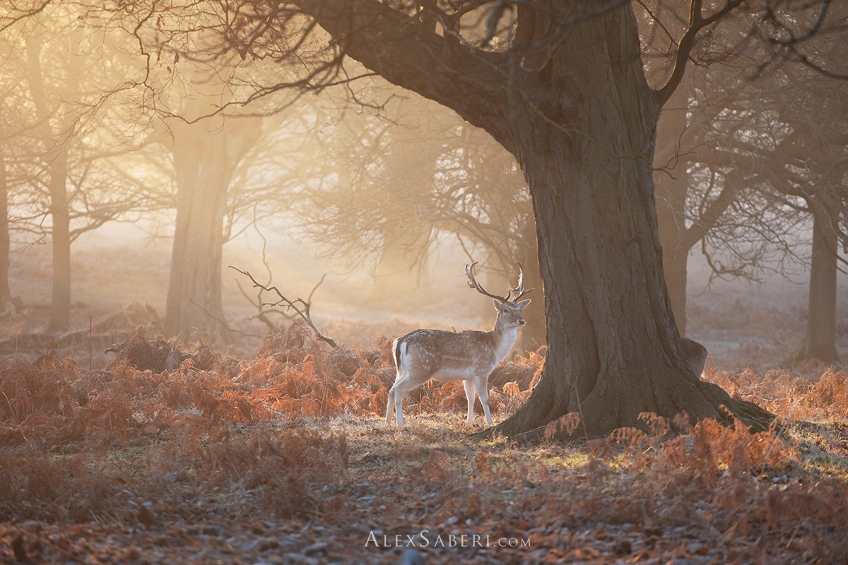 A lone fallow deer stag in a wintery Richmond Park print poster.